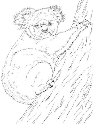 koala climbing tree coloring page super coloring