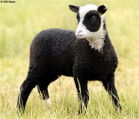 black lamb pictures  images