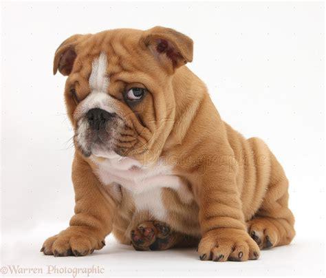 Bulldog pup, 8 weeks old, sitting photo WP38139