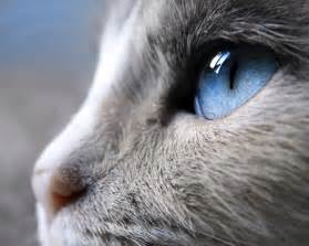 blue eyed cat white cat blue breed cats types