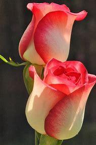 World Most Beautiful Rose Flowers