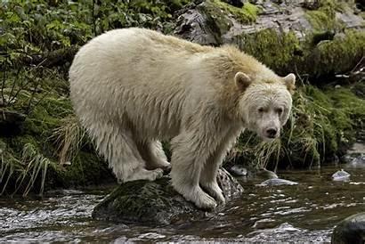 Bear Spirit Kermode Canada Habitat Forest Rainforest