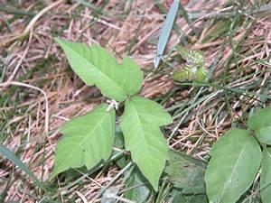 Traitement Mauvaise Herbe : herbe la puce lipomiculture ontario ~ Melissatoandfro.com Idées de Décoration