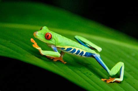roodoog maki kikker rainforest pinterest