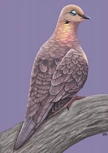 Mourning Dove by hypercrabby on DeviantArt
