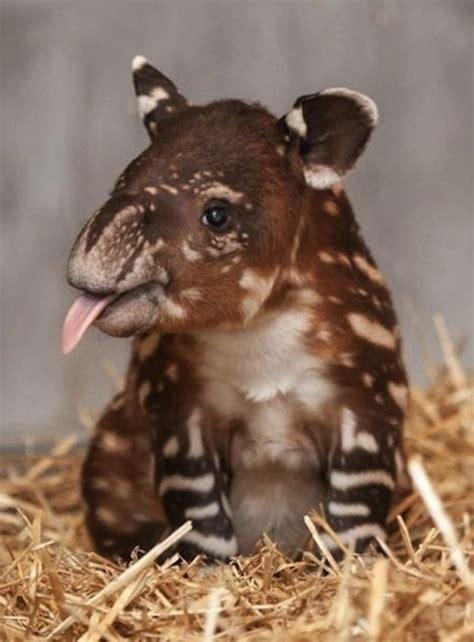 young tapir  tongue poked  luvbat