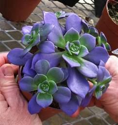 Blue Echeveria Plant