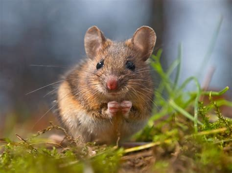 pictures of mice a guide to field mice effective wildlife solutions