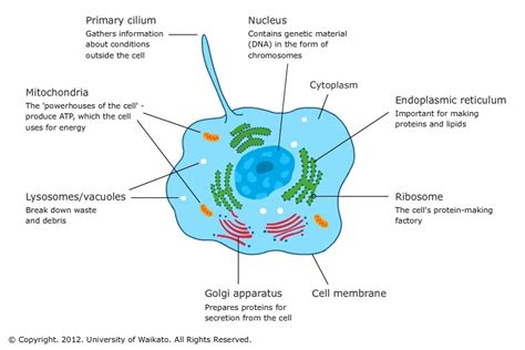 Diagram Part Of A Cell by Cells Definition Structure Function Parts Of The Cell