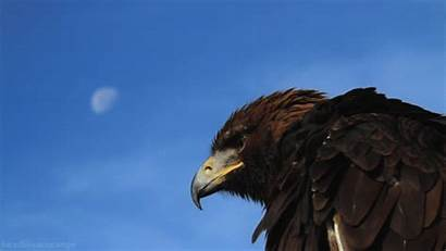 Eagle Cool Gifs Golden Animal Epic Attacks