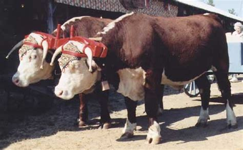 Rural Heritage - Hereford Oxen