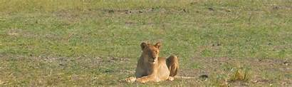 Lion Wildlife Conservation African Mixed Ear Twitch
