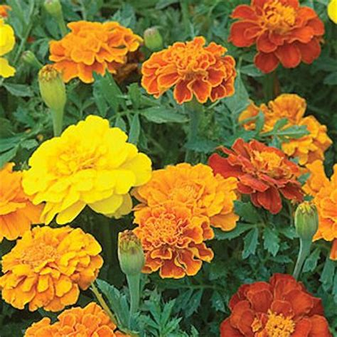 marigold insect repellent 8 mosquito repellent plants mother s home
