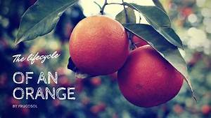 Life Cycle Of An Orange - All You Need To Know
