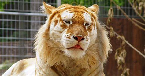 Apparently There Something Called Strawberry Tiger