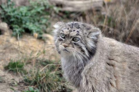 cat pallas cats endangered rare species wild mountain chinese asia website read society international head
