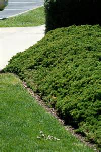 Juniper Ground Cover Plants for Slopes