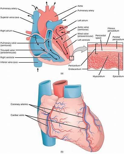 Heart Blood Atrium Vessels Figure Biology Vessel