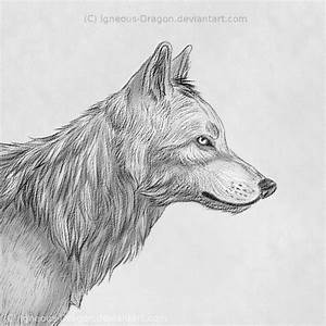Wolf Face Side View Drawing