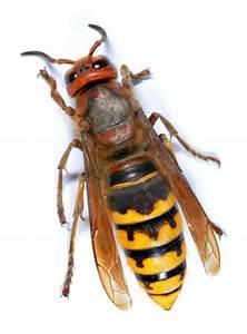 Stehen Wespen Unter Naturschutz : hornissen und naturschutz ~ Whattoseeinmadrid.com Haus und Dekorationen
