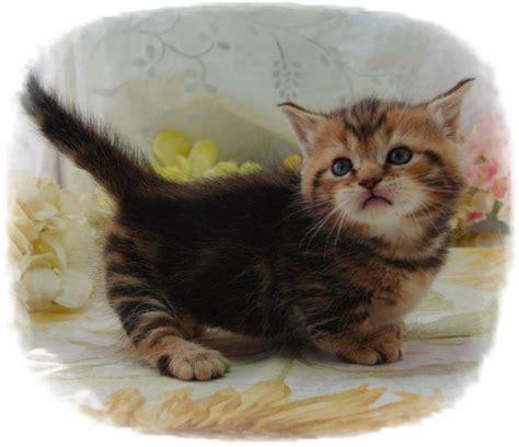 Best 25+ Munchkin Cat Ideas On Pinterest  Short Legged