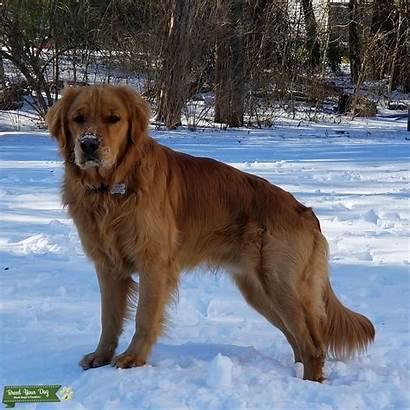 Golden Retriever Close Stud Dog Breed Dogs