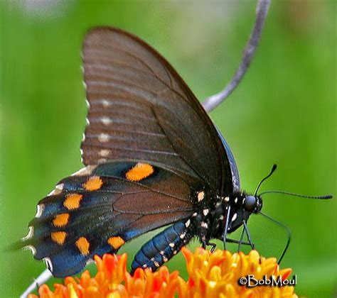 pipevine swallowtail battus philenor linnaeus