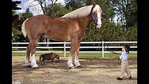 Big Jake World's Tallest Horse - Guinness World Record ...