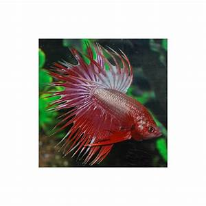 BETTA SPLEDENS DRAGON CROWNTAIL MALE Taille XL - Univers ...