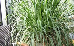 Portulak Pflanzen Kaufen : lemongras zitronengras pflanze cymbopogon citratus ~ Michelbontemps.com Haus und Dekorationen