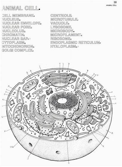 Cell Animal Coloring Worksheet Plant Structure Answers