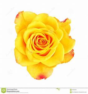 Yellow Rose Flower stock photo. Image of fresh, background ...