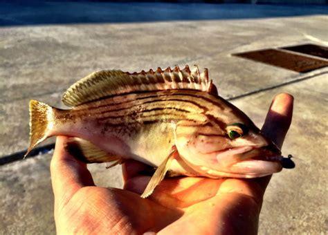 grouper greece light