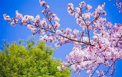 Spring Wallpapers Flowers Desktop Flower Phone Sakura