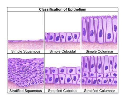 Epithelium — Functions And Types Of Epithelial Tissue