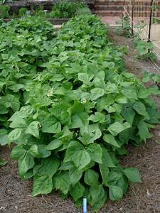 Growing Snap Beans
