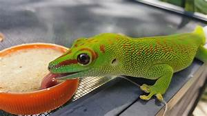 Giant Day Gecko eating Repashy - YouTube