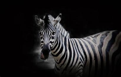 Zebra Animal Background Wildlife Wallpapers Portrait Derpy