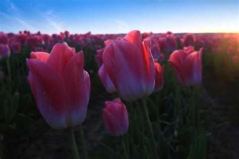 skagit valley tulip festival andy porter images