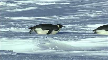Penguin Sliding Penguins Slide Gifs Giphy Know