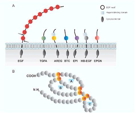 EGFR ligands. (A) The seven EGFR ligand transmembrane ...