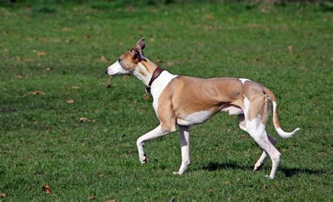 Best Running Dogs That Dont Shed by Top 11 Breeds That Don T Shed Insider Monkey