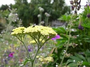 Acheter Des Plantes : achillea 39 taygetea 39 acheter des plantes en ligne ~ Melissatoandfro.com Idées de Décoration
