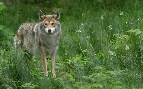 animals nature coyote wallpapers hd desktop  mobile