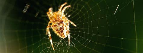 une araign 233 e m 226 le fabrique des quot ceintures de chastet 233 quot pour sa femelle