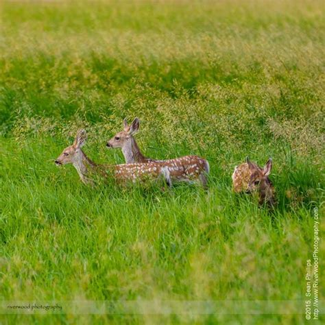 spotted mule deer triplet fawns riverwood photography