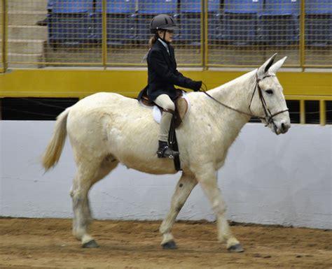 mule saddle mules under hunter bit quarter bag horses tail surprisingly mixed turn youth