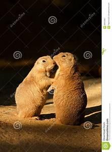 Black-tailed Prairie Dog Stock Photo - Image: 59312957