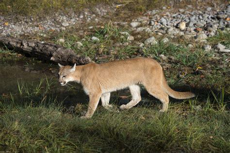 mountain lion sighting  laredo debunked  wildlife