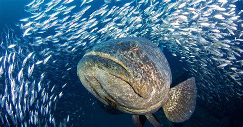 grouper goliath fishing season story